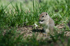 Cute Little Ground Squirrel Enjoying a Snack Royalty Free Stock Images