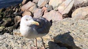 Cute little gull natural waves. Bird stock video footage