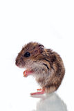 Cute little hamster isolated on white Stock Photos