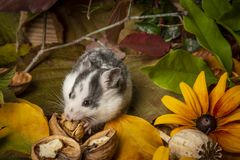 a cute little hamster - Mesocricetus auratus stock photos