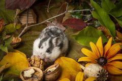 A cute little hamster - Mesocricetus auratus royalty free stock photos