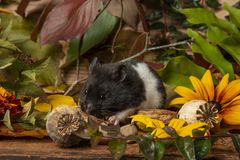 A cute little hamster - Mesocricetus auratus royalty free stock photography