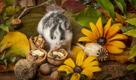 A cute little hamster - Mesocricetus auratus stock images