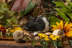 A cute little hamster - Mesocricetus auratus stock photo