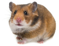 Cute little hamster Royalty Free Stock Image