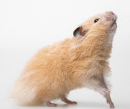 A cute little hamster Stock Photo
