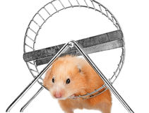 A cute little hamster Royalty Free Stock Photography
