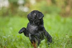 Cute little happy black puppy pug in park on grass training Royalty Free Stock Image
