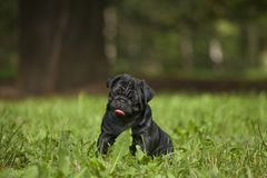 Cute little happy black puppy pug in park on grass training. Looking at trainer royalty free stock photos