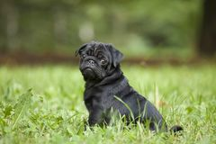 Cute little happy black puppy pug in park on grass training. Looking at trainer stock photos
