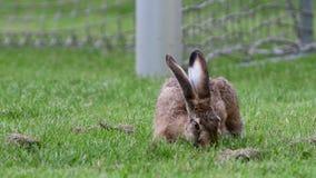 Hare eating grass near a soccer goal. A cute little hare eating grass near a soccer goal stock video
