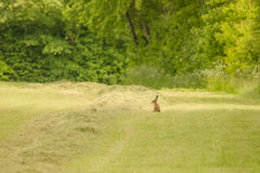 Cute little hare on a grass field Royalty Free Stock Photos