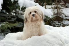 Cute little Havanese girl dog in the snow Royalty Free Stock Images