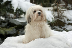Cute little Havanese girl dog in the snow Royalty Free Stock Photo