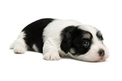Cute little havanese puppy Stock Images