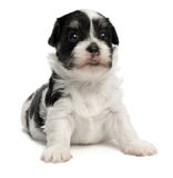 Cute little havanese puppy Royalty Free Stock Photo