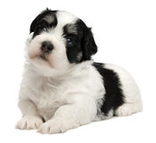 Cute little havanese puppy Royalty Free Stock Photos