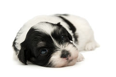Cute little havanese puppy Stock Photo
