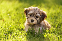 Cute little havanese puppy dog is sitting in the grass. In backlight Stock Photos