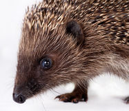 Cute little hedgehog. Stock Images