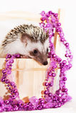 A cute little hedgehog - ( African white- bellied hedgehog ) Stock Photography