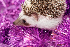 A cute little hedgehog - ( African white- bellied hedgehog ) Royalty Free Stock Images