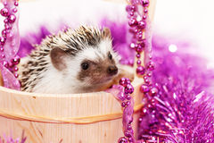 A cute little hedgehog - ( African white- bellied hedgehog ) Stock Photo