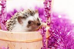 A cute little hedgehog - ( African white- bellied hedgehog ) Stock Photo