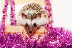 A cute little hedgehog - ( African white- bellied hedgehog ) Royalty Free Stock Photography