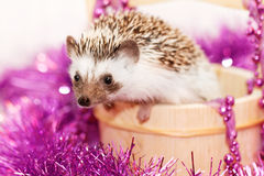 A cute little hedgehog - ( African white- bellied hedgehog ) Stock Photos