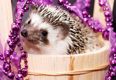 A cute little hedgehog - ( African white- bellied hedgehog ) Stock Image