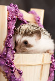 A cute little hedgehog - ( African white- bellied hedgehog ) Royalty Free Stock Photo