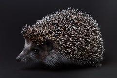Cute little hedgehog isolated on black Stock Image