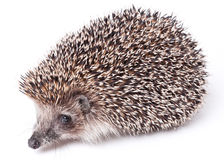 Cute little hedgehog isolated on white Stock Images