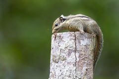 Cute little Himalayan Striped Squirrel. Himalayan Striped Squirrel resting on top of a wood pillar Royalty Free Stock Photos
