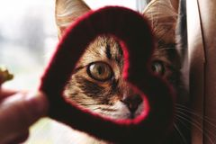 Cute little home cat looking through red heart in the hand on th