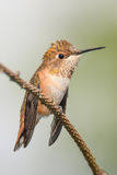 Cute Little Hummingbird. Tiny rufous hummingbird perched on a branch Stock Images