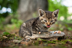 Cute little hungry kitten Stock Photography