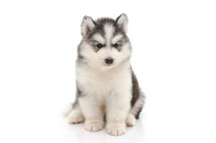 Cute little husky puppy isolated on white Stock Photography