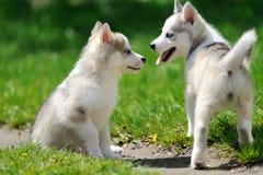 Cute little husky puppy Royalty Free Stock Photo