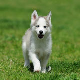 Cute little husky puppy. Cute little siberian husky puppy in grass Stock Photo