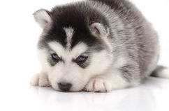Cute little husky puppy  on white background Stock Photo