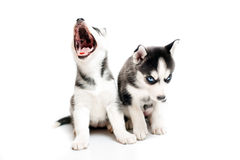 Cute little husky puppy on white Royalty Free Stock Photo