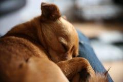 Cute little jackaranian dog sleeping Stock Images