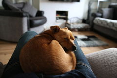 Cute little jackaranian dog sleeping Royalty Free Stock Photography
