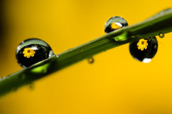 Yellow Flower Water Drop Refracttion stock photos