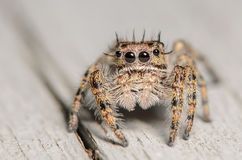 Cute little jumping spider. On a grey background Stock Images