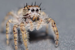 Cute little jumping spider. On a silver surface and background Royalty Free Stock Images