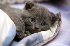Cute little kitten. Cute little Scottish fold kitten laying in bed Stock Images