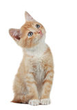 Cute little kitten. Cute little red kitten looking up Royalty Free Stock Images